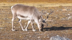 WIld reindeer in natural habitat Stock Footage