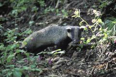 eurasian badger / meles meles amurensis. ussuriland, southern far east of rus - stock photo