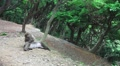 Japanese Macaque Monkey Grooms Another In Forest Wide Shot HD Footage