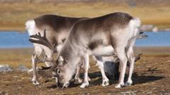 Wild reindeers in summer Arctic tundra Stock Footage