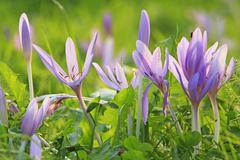 meadow saffron (colchicum autumnale) on a meadow - stock photo