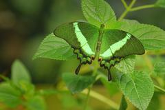 emerald swallowtail (papilio palinurus), south-east asia - stock photo