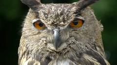 HD1080 Eagle Owl Close Up (bubo bubo) - stock footage
