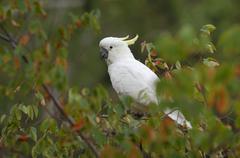 Stock Photo of sulphur-crested cockatoo (cacatua galerita), australia