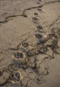 Tracks of ussuri tiger at coast, sea of japan, southern far east of russia pa Stock Photos