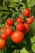 tomatoes - tomato totem (lycopersicon esculentum var. esculentum) (solanum ly - stock photo