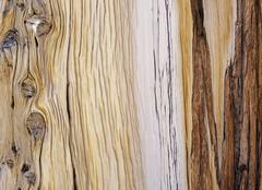 Bristlecone pine, olmsted point, yosemite np, california, usa Kuvituskuvat