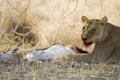 Stock Photo of lion, lioness after hunting a springbok (antidorcas marsupialis). she eats he