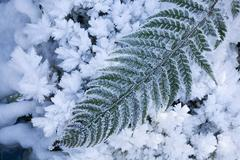 hoar frost on fern leaf (pteridopsida) next to a brook - stock photo