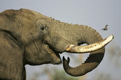 Drinking african elephant (loxodonta africana). savuti, chobe national park,  Stock Photos