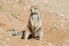Stock Photo of two african ground squirrels, kgalagadi transfrontier park kalahari gemsbok p