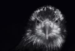Black and white portrait of a golden eagle aquila chrysaetos Stock Photos