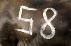 Start number, combat of queens, swiss cow fighting, valais, switzerland Kuvituskuvat