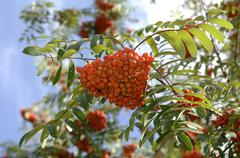 Stock Photo of ripe fruits of sorbus aucuparia, rowan, mountain ash