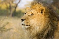 Stock Photo of full-grown lion (panthera leo), male, namibia, africa