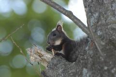 Eurasian red squirrel / sciurus vulgaris. ussuriland, southern far east of ru Stock Photos