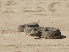 Poisonous rattlesnake (crotalus durissus terrificus) ready for an attack Stock Photos