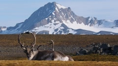 Wild reindeers at the front of the mountains - Arctic, Spitsbergen - stock footage