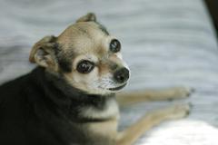 Portugese hunting dog (lupus familiares) Stock Photos