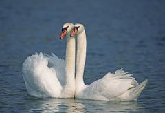 Stock Photo of pair of mute swans (cygnus olor) in spring, flachsee, aargau, switzerland