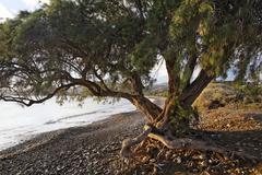 Old tamarisk (tamarix africana) at kouremenos beach near palekastro, eastern  Stock Photos