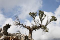 old dying holm oak (quercus ilex), kritsa, crete, greece - stock photo