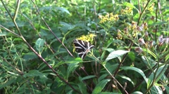 4k Rare Jersey Tiger dayflying moth on yellow flowers Stock Footage