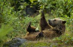 Brown bear (ursus arctos) at play Stock Photos