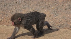Baby Japanese Macaque Monkey Walking On Pavment 4K Stock Footage
