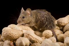house mouse (mus musculus) with nuts - stock photo