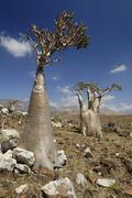 Socotra desert rose or bottle tree, adenium obesum sokotranum, socotra island Stock Photos