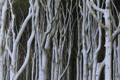 Stock Photo of gespensterwald, an eerie forest at nienhagen near warnemuende, mecklenburg-vo