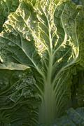 Close up of a savoy cabbage Stock Photos