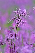 Stock Photo of ragged robin (lychnis flos cuculi) in flower in early summer