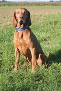 Stock Photo of 8 year old male vizsla dog sitting, rövidszörü magyar vizsla, hungarian sh