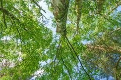 Tall Tree Forest Canopy - stock photo