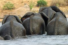 herd of elephants crossing the chobe river loxodonta africana botswana - stock photo