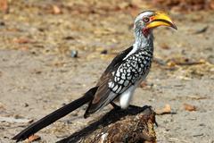 Stock Photo of yellow-billed hornbill tockus flavirostris moremi national park botswana