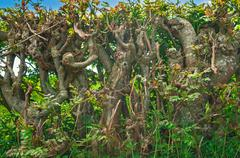 Twisted Entwined Hedgerow,Trees - stock photo