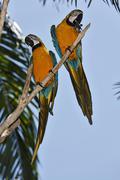 blue and gold macaw (ara ararauna), zoo, bali, indonesia - stock photo