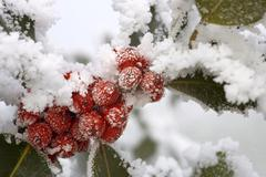 hoarfrosted red berries of the holly (ilex aquifolium) - stock photo