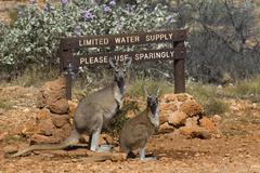 Kangaroo female with juvenile on a waterhole, skippy, macropus rufus, austral Kuvituskuvat