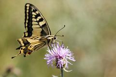 Stock Photo of swallowtail (papilio machaon) germany