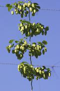 modern way to cultivate hops - stock photo