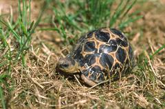 hatchling of the highly endangered the malagasy radiated tortoise (geochelone - stock photo