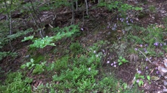 4k Little blue flowers in low mountain range Harz forest Stock Footage