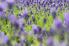 Lavender - lavandula angustifolia Stock Photos