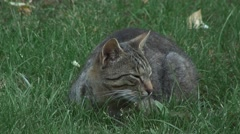 Cat purring and sleeping in the grass Stock Footage
