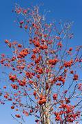 Rowan berries (sorbus aucuparia) Stock Photos