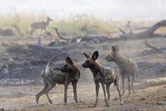 African wilddogs - lycaon pictus - looks for the kudu. linyanti, chobe nation Stock Photos
